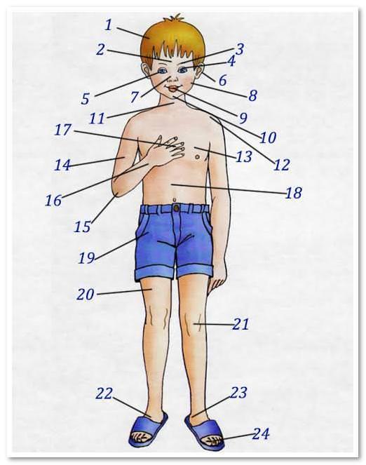 Части тела по английскому